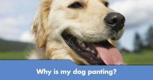 dog-panting
